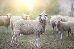 Sheep flock standing on farmland Stock Images