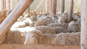 Sheep flock in sun light on eco farm - Lamb Organic Meat Products stock video footage