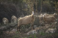Sheep Flock in Turkey. Large ewe from a sheep flock in Turkey in arid landscape royalty free stock photos