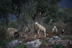 Sheep Flock in Turkey. Large ewe from a sheep flock in Turkey in arid landscape before dawn stock photos