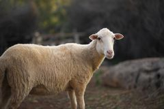 Sheep Flock in Turkey. Lone ewe from a sheep flock in Turkey in arid landscape royalty free stock photo