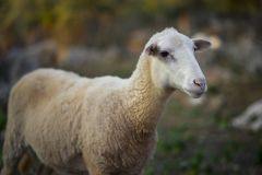 Sheep Flock in Turkey. Lone ewe from a sheep flock in Turkey in arid landscape stock images