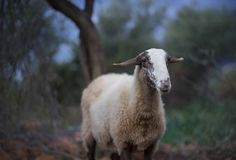 Sheep Flock in Turkey. Lone ewe from a sheep flock in Turkey in olive grove landscape royalty free stock photos