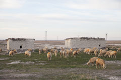 Sheep of flock Royalty Free Stock Images