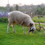 Sheep on flower Garden Stock Photo