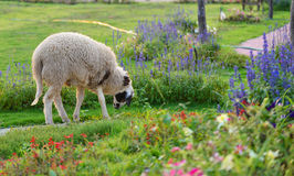 Sheep on flower Garden Stock Photography