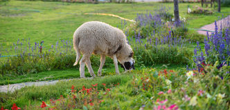 Sheep on flower Garden Royalty Free Stock Photos