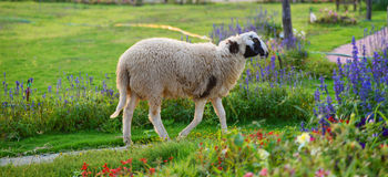 Sheep on flower Garden Royalty Free Stock Photography