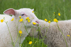 Sheep and flowers Stock Photo