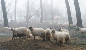 Sheep in the fog Royalty Free Stock Photography