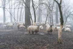 Sheep in the fog Stock Images