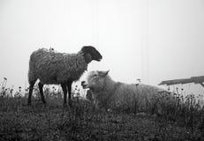 Sheep in fog Stock Photos