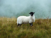 Sheep in fog. Scottish sheep surrounded by fog Stock Image