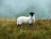 Sheep in fog Stock Image