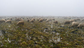 Sheep on a foggy green meadow in winter Royalty Free Stock Photo