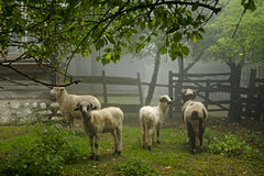 Sheep on foggy morning (ovis aries) Royalty Free Stock Photography