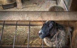 Sheep into the fold Stock Photo