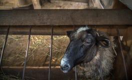 Sheep into the fold Royalty Free Stock Photos