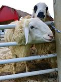 Sheep in fold. Lovely and have wool Royalty Free Stock Photography