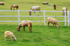 Sheep forage in sunny summer pasture Stock Photos