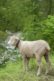 Sheep. In forest in Switzerland royalty free stock photo