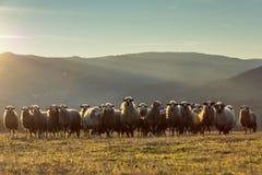 Sheep formation. Bosnian sheep field at sunset stock photos