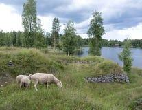 Sheep in former fortification Särnäkoski in central Finland. Sheep in former fortification Särnäkoski in saima area of Finland with lake in the Royalty Free Stock Photography