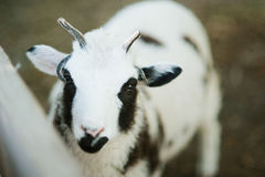 The sheep with four horns Jacob breed Stock Images