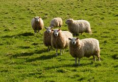 Sheep. Four sheep staring. Photo taken April 2015 Royalty Free Stock Photos