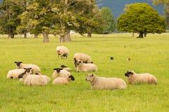 Sheep fram animal on green glass, New Zealand. Natural landscape background stock images
