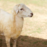 Sheep in fram meadow Royalty Free Stock Photos