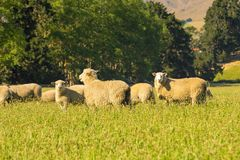 Sheep fram over green glass. Looking at stock images