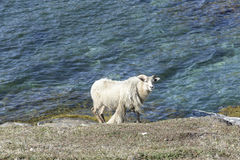 Sheep in front of Atlantic Ocean Royalty Free Stock Photo