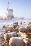 Sheep in front of Dutch windmill on a winter's morning Stock Photography