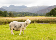 Sheep in front of Langdale Pikes in Lake District Royalty Free Stock Photos