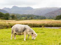 Sheep in front of Langdale Pikes in Lake District Stock Image