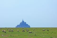 Sheep in front of the Mont-Saint-Michel, France Stock Images