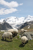 Sheep in front of Monte Rosa royalty free stock images