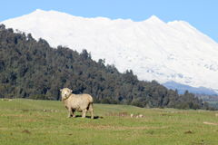 Sheep in front of Ruapehu volcano. Lonely sheep in meadow in front of mount Ruapehu in Tongariro National Park in winter time Stock Image