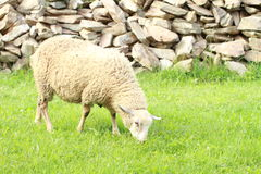 Sheep in front of stone wall Royalty Free Stock Photography