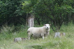 Sheep in front of trees. Sheep lookin at you from a pasture near a forest Stock Photography