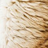 Sheep fur texture background closeup Stock Image