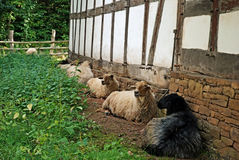 Sheep in the garden Stock Images