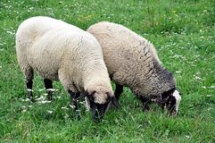 Sheep in the garden Royalty Free Stock Photo
