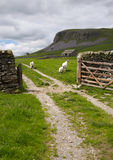 Sheep, Gate and Limestone. Yorkshire Dales, England stock image