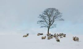 Sheep Gather around Tree in Snow royalty free stock image