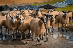 Sheep gather in a line at Stocdale. Sheep gather near to the entrance of a farm in Stockdale above Settle in the Yorkshire Dales royalty free stock photo