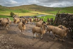 Sheep gather in a line at Stocdale. Sheep gather near to the entrance of a farm in Stockdale above Settle in the Yorkshire Dales stock photos