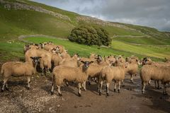 Sheep gather in a line at Stocdale. Sheep gather near to the entrance of a farm in Stockdale above Settle in the Yorkshire Dales royalty free stock image