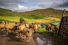Sheep gather in a line at Stocdale. Sheep gather near to the entrance of a farm in Stockdale above Settle in the Yorkshire Dales royalty free stock photography